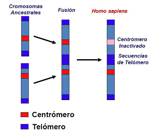cromosoma 2 - El misterioso cromosoma 2 y nuestros origenes